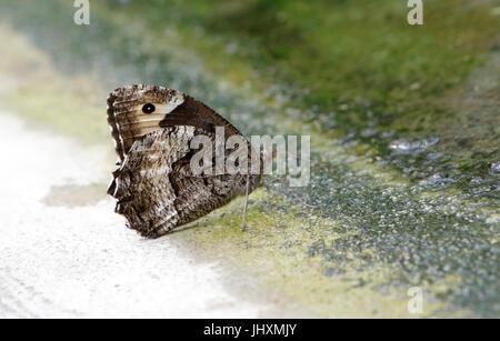 European Map Butterfly (Araschnia levana) - Stock Photo