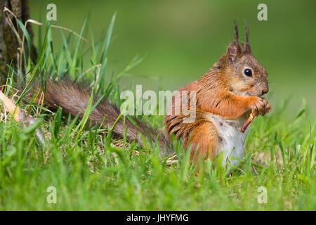 Red Squirrel (Sciurus vulgaris), adult female feeding - Stock Photo