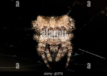 A spider (Araneus angulatus) on a spider web at night - Stock Photo