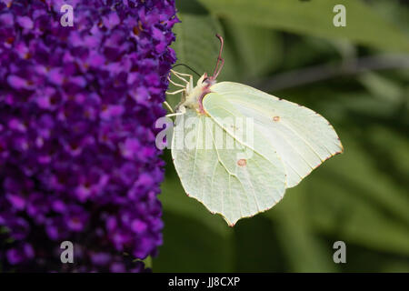 Female Brimstone butterfly, Gonepteryx rhamni, feeding on the flower panicle of Buddleja davidii 'Dreaming Lavender' - Stock Photo