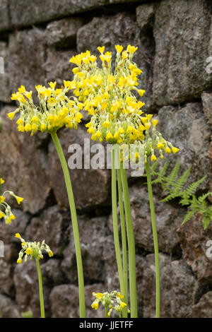 Yellow flowers hanging from the stems of the giant cowslip, Primula florindae - Stock Photo