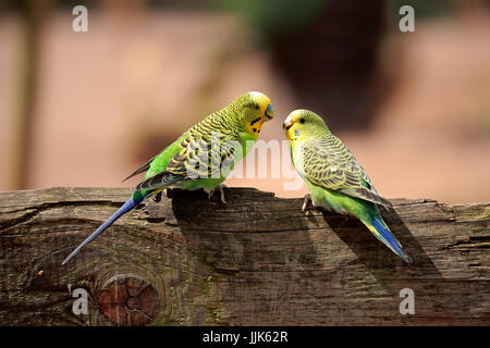 Budgies (Melopsittacus undulatus), animal couple sitting on wooden fence, Australia - Stock Photo