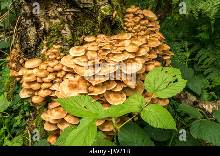 Close up of honey parasitic tree fungus, Armillaria mellea, in Butterdean woodland, East Lothian, Scotland, UK - Stock Photo