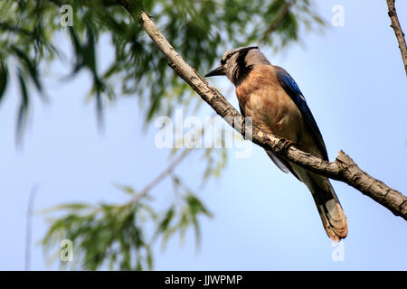 A Blue Jay sitting in a tree - Stock Photo