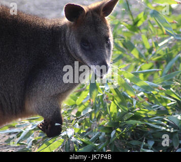 The swamp wallaby (Wallabia bicolor) - Stock Photo