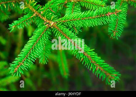 spruce - Stock Photo