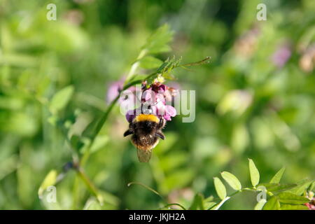 Biene auf Zaunwicke, Wicke auf Wiese - Stock Photo