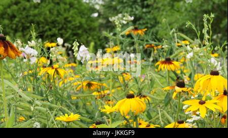 Yellow rudbeckia flower in the garden background - Stock Photo