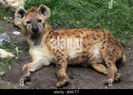 Spotted hyena Crocuta crocuta aka the laughing hyena.genus Crocuta. native to Sub-Saharan Africa. - Stock Photo