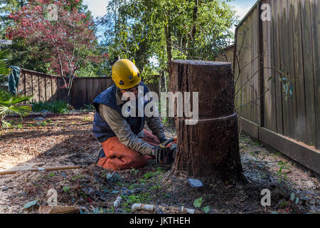tree trimmer, tree trimming service, cutting down eucalyptus tree, using chainsaw, tree care, lumberman, city of - Stock Photo