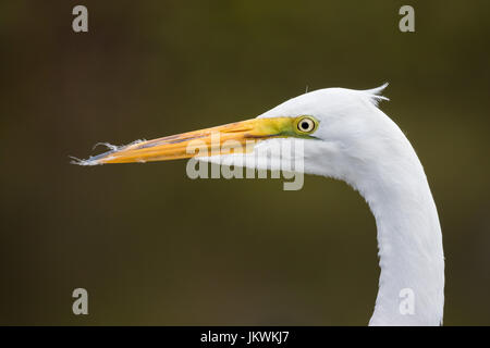 This close-up portrait of a wild great egret was taken in March at Gatorland in Florida, USA. - Stock Photo