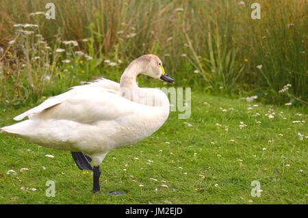 Bewick Swan - Cygnus columbianus bewickii - Stock Photo