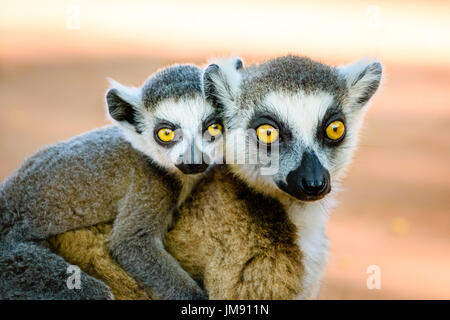 Cute ring tailed lemur carrying baby on back looking into camera with beautiful eyes - Stock Photo