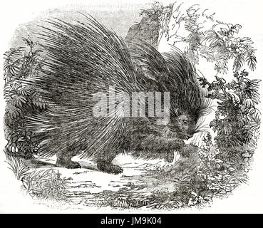 Old illustration of Crested Porcupine (Hystrix cristata). By unidentified author, published on Magasin Pittoresque, - Stock Photo