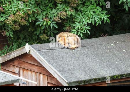 London, UK. 26th July, 2017. An urban red fox sleeping on a garden shed roof. Credit: claire doherty/Alamy Live - Stock Photo