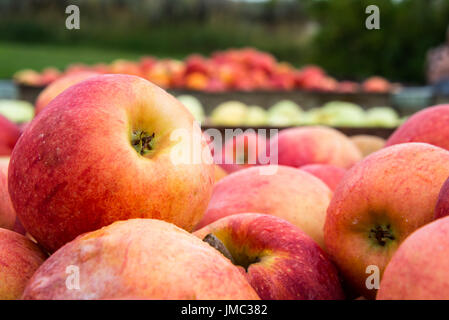 Bins of Apples Picked in Orchards Close Up - Stock Photo