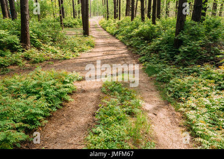 The Scenic Sunshine Forest Road Going Ahead Via Summer Pine Wood Of Tall Thin Trees Along Dense Deciduous Underbrush - Stock Photo
