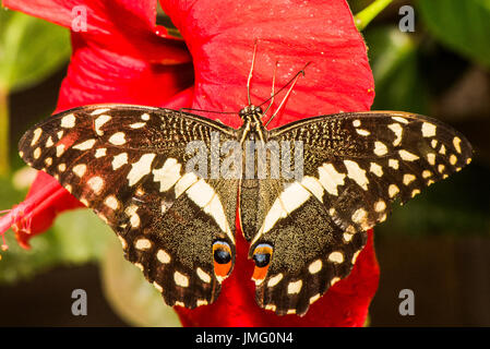 The Citrus Swallowtail butterfly - Stock Photo