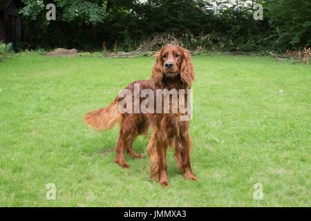 Irish Setter / Red Setter Dog in a Garden Environment - Stock Photo