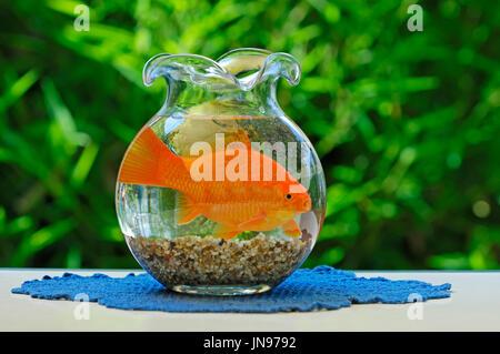 Goldfish in bowl / (Carassius auratus) | Goldfisch in Goldfischglas / (Carassius auratus) - Stock Photo