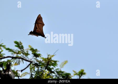 Giant fruit bat in flight, Sri Lanka - Stock Photo