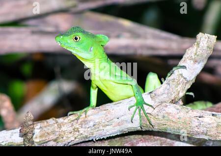 Plumed basilisk / Green basilisk / Double crested basilisk / (Basiliscus plumifrons), female on a branch (Costa - Stock Photo