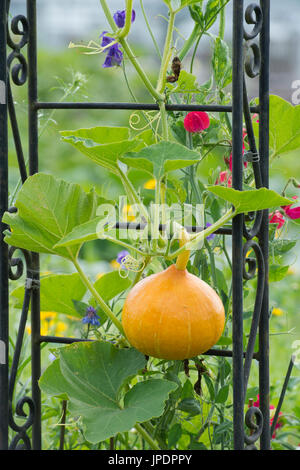 Cucurbita maxima. Red kuri squash growing up a garden arbour with sweet pea flowers. UK - Stock Photo