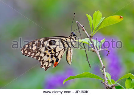 Lime Butterfly Papilio demoleus Colorful Close up - Stock Photo