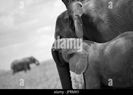 Elephants Roam the Serengeti - Stock Photo