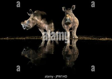 White rhino (Ceratotherium simum) drinking at night, KwaZulu-Natal, South Africa, May 2017 - Stock Photo