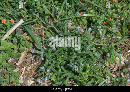 Field foirget-me-not, Myosotis arvensis, annual arable weed growing in waste ground with scarlet pimpernel, Berkshire, - Stock Photo