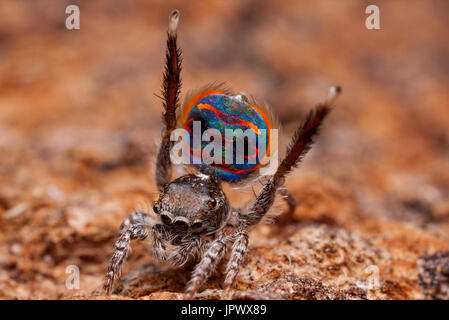 Male peacock spider showing his colorful abdomen - Australia - Stock Photo