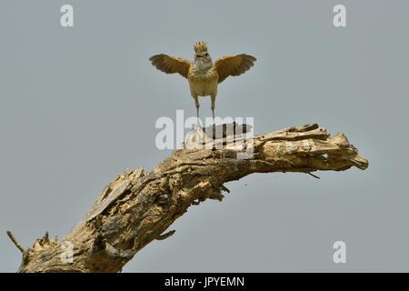 Rufous-naped Lark on a branch - Savuti Botswana - Stock Photo