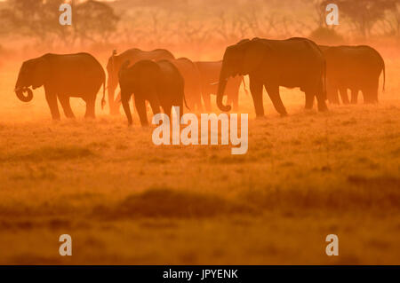 African Elephants at dusk - Savuti Botswana - Stock Photo