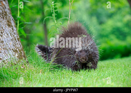 North American porcupine in grass - Minnesota USA - Stock Photo
