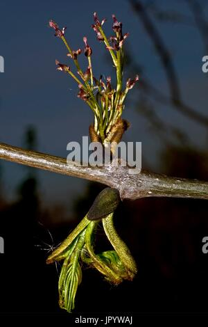 Narrow-leafed ash (Fraxinus angustifolia Vahl.): young leaves and inflorescence (panicle) in Spring. Species used - Stock Photo