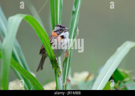 Rufous-collared Sparrow (Zonotrichia capensis), Ecuador - Stock Photo