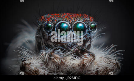 Front view of Maratus speciosus male Peacock spider. - Stock Photo