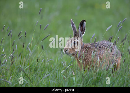 Brown hare standing among tall grass at spring - GB - Stock Photo