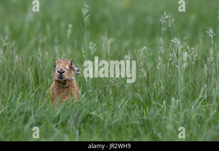 Brown Hare sitting in the tall grass at spring - GB - Stock Photo