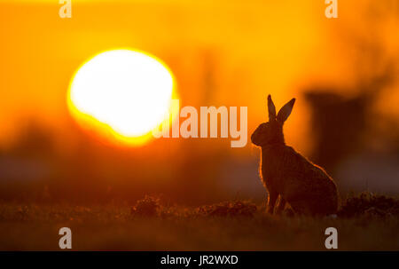 Brown Hare silhouette at sunset in winter - GB - Stock Photo