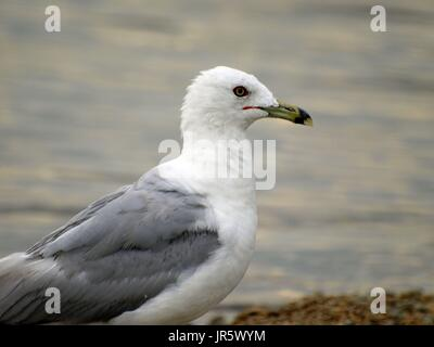 Seagull with shimmery silver water - Stock Photo