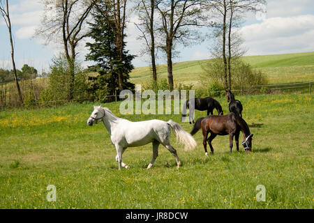 free horses grazing in meadow with lots of flowers in summer. herd of horses together outside - Stock Photo