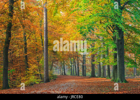 """Colorful tree foliage on the beech trees along a path through a forest in autumn in National Park """"De Hoge Veluwe"""", - Stock Photo"""