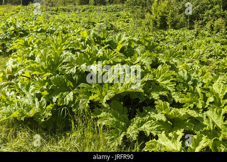 Green heracleum, cow-parsnip plant in summer - Stock Photo