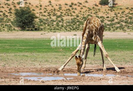 Southern Giraffe (Giraffa giraffa), male drinking from rainwater pool in the Auob riverbed, rainy season with green - Stock Photo