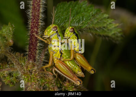 Pair of green coloured grasshoppers mating. Trentino. Italy - Stock Photo