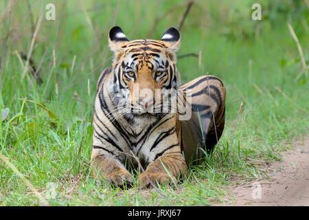 Royal Bengal Tiger or Panthera Tigris Tigris or Indian Tiger portrait at Tadoba National Park, Maharashtra - Stock Photo