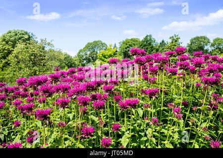 Monarda common names Bee Balm and Bergamot in herbaceous border of a garden. - Stock Photo