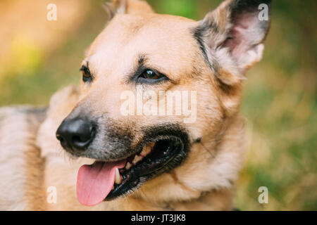 Close Up Of Medium Size Mongrel Mixed Breed Short-Haired Yellow Adult Female Dog With Tongue In Collar On Brown - Stock Photo